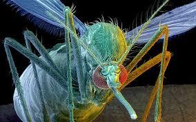 MGO mosquito